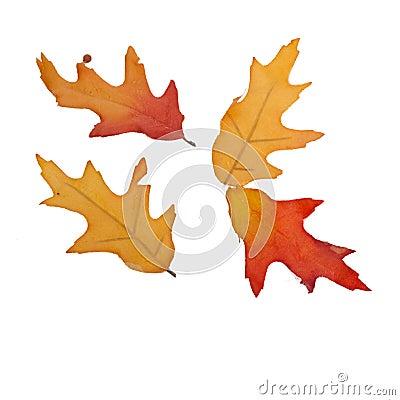 Cuatro hojas de la caída aisladas