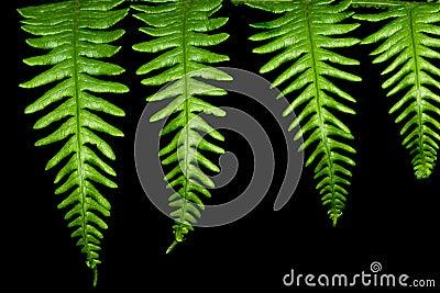 Cuatro hojas del helecho