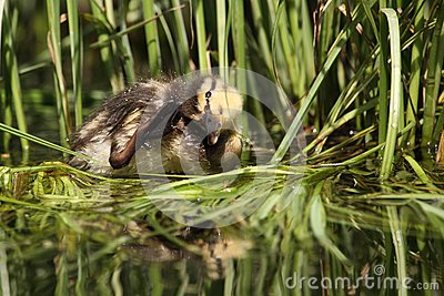 Cub άγρια περιοχές παπιών