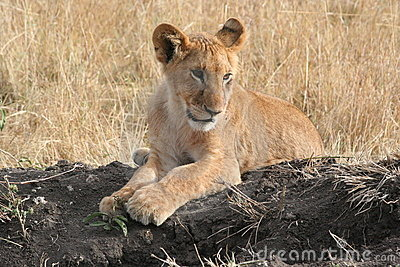 Cub λιοντάρι