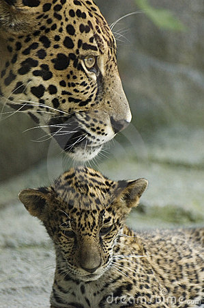 Free Cub And Mother Royalty Free Stock Photos - 256598