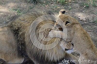 Cub bites father