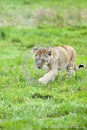 Cub di leone sveglio