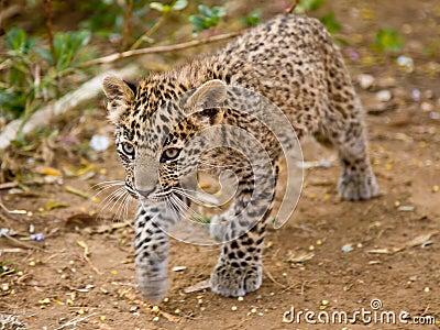Cub leopard