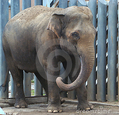 Free Cub Of The Indian Elephant (Elephas Maximus) Stock Images - 5497804