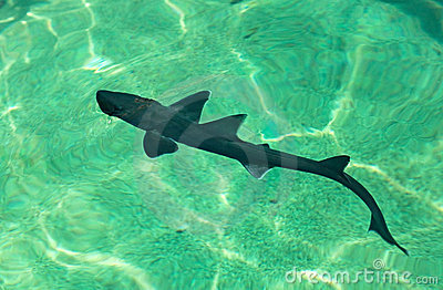 Cub shark