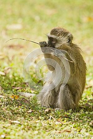 Cub of Vervet Monkey
