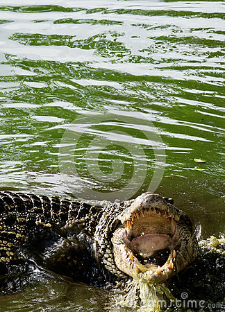 Cuban crocodile with open Mouth