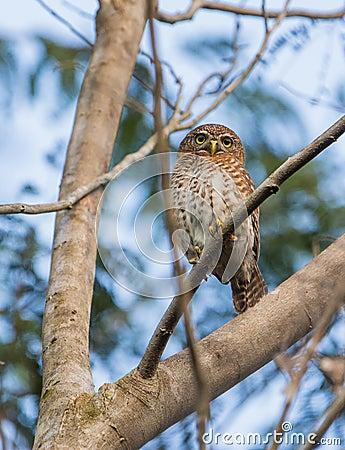 Cuban Pygmy Owl on a branch Stock Photo