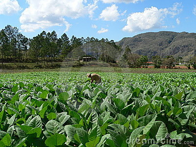 Cuban tobacco field
