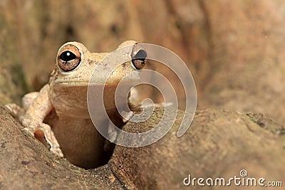 Cuban Tree Frog Hiding in a tree trunk