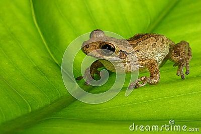 Cuban treefrog on backlit green leaf