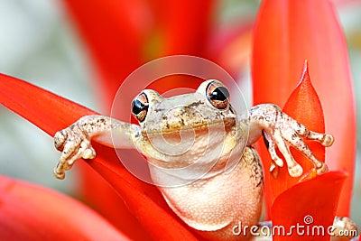Cuban treefrog hanging around in a bromeliad