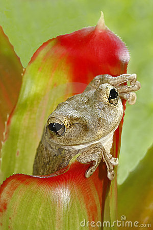 Cuban treefrog hiding in the bromeliad