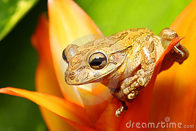 Cuban treefrog perched on a bromeliad