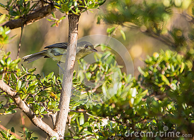 Cuban Vireo in the thicket