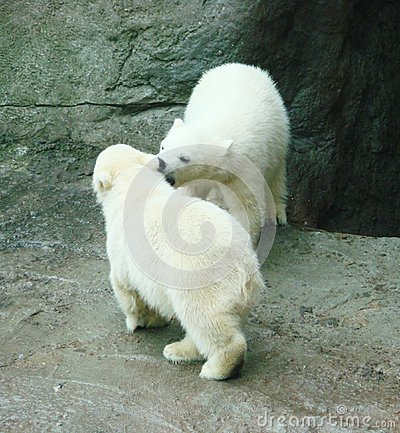 Cubs of a polar bear
