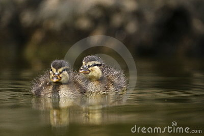 Cubs of wild duck