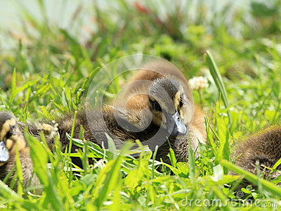 Cubs of wild duck