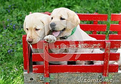 Cuccioli in carrello rosso