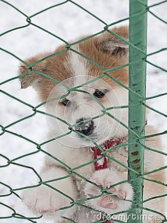 Cucciolo di cane di Akita Inu