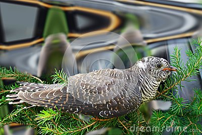 Cuculus canorus, Common Cuckoo.