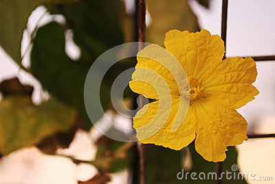 Cucumber Flower (Male)