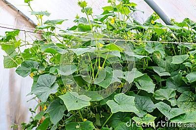 Cucumber plants