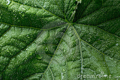 Cucumber s leaf with water drops
