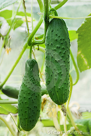 Cucumbers growing on a vine