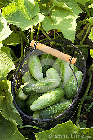 Cucumbers with leaves in basket