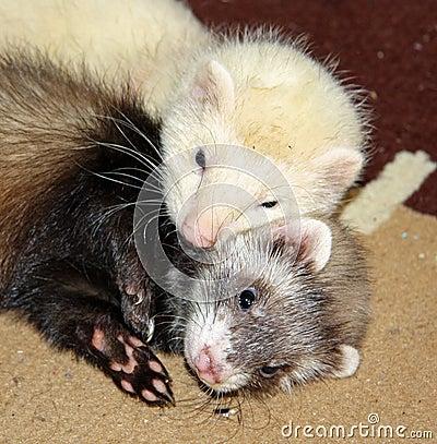 Cuddling ferrets