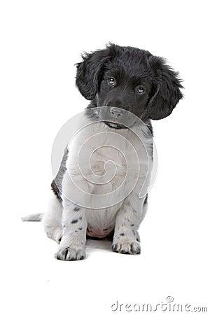 Cuddly Stabyhoun puppy