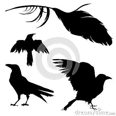 Cuervo, cuervo, pájaro, y pluma