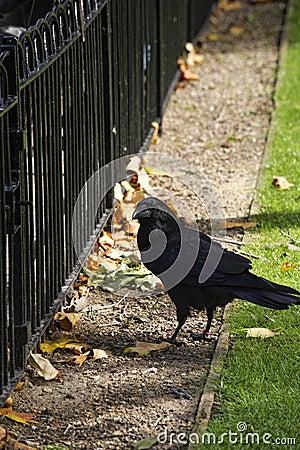 Cuervo en la torre de Londres