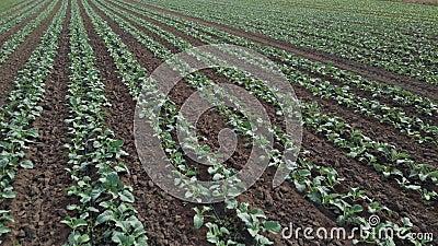 Cultivado en los campos enorme con las plantas de la col verde almacen de metraje de vídeo