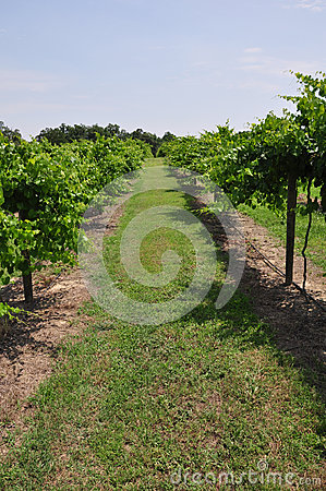 Cultivated Grapes