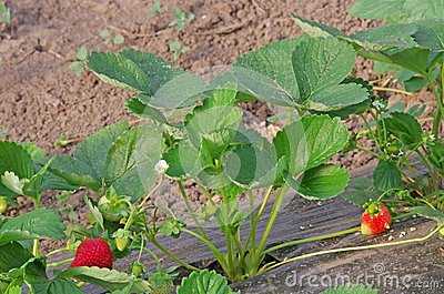 Cultivated strawberry
