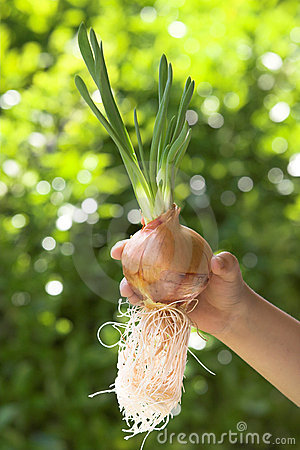 Cultivating onion