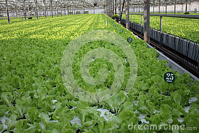 Cultivation of green leaf lettuce