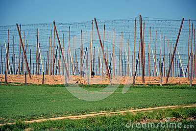 Cultivation of hops in southern Czech Republic