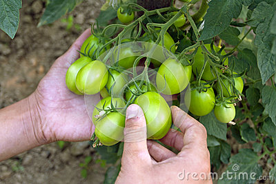 Cultivation of tomatoes