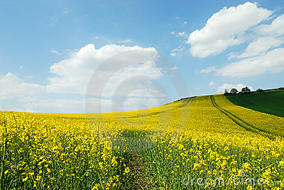 Culture of canola