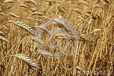 Culture de plein champ s che d 39 or de bl d 39 agriculture images stock image 11473934 - Culture haricot vert plein champ ...