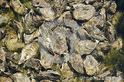 Culture of oyster in Cap Ferret