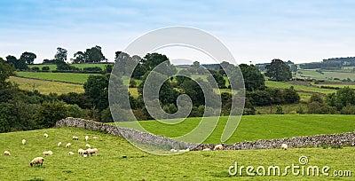 Cumbrian Sheep