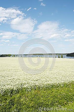 Cumin field