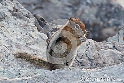 écureuil au sol D or-enveloppé
