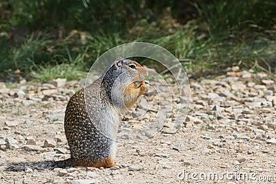 Écureuil moulu