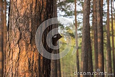 Cureuil sib rien noir sur le tronc d 39 arbre photo stock image 72477699 - Achat tronc arbre decoratif ...